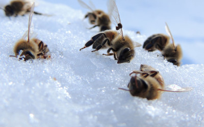dead bees on snow